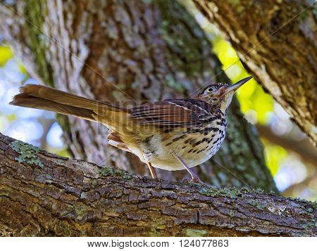 Brown Thrasher bird up in a tree