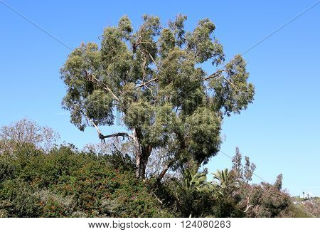 Eucalyptus Tree Wild Vegetation Plants Leaves Gardening and Landscaping
