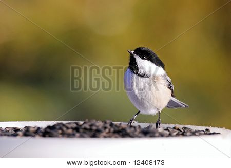 Black-capped chickadee with abundance of sunflower seeds
