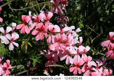 Pink and White Spring Flowers for Gardening and Landscaping.