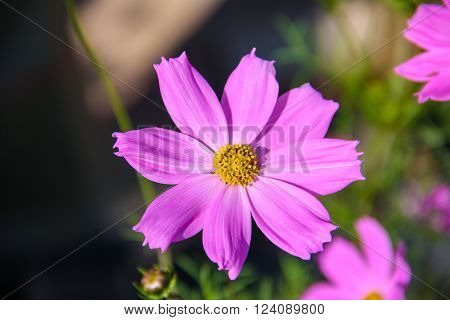 beautiful pink cosmos flower in bright day