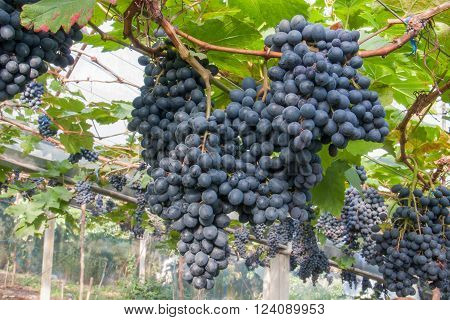 fresh bunch of purple grapes, fruits for vintage