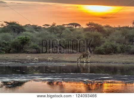 Specie Giraffa camelopardalis family of Giraffidae, stunning sunset and giraffe drinking in the riverbank, South Africa