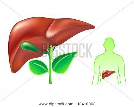 Healthy human liver concept illustration