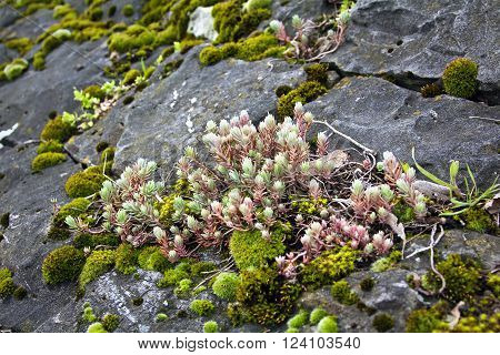Mountain herb and moss on the stone.