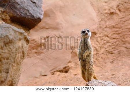 Suricate Standing On Rock