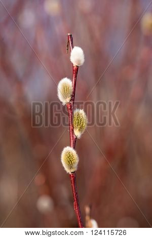 First buds of Goat Willow, awakening of nature in the spring