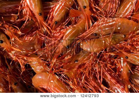 Close-up of Alaska prawns