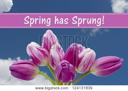Spring has Sprung Message, Some tulips with blue sky and text Spring has Sprung