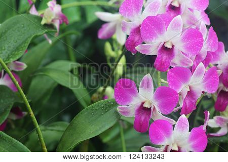 Pink dendrobium Eastern Vigor orchid in full bloom after rain