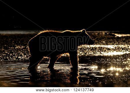 Grizzly Bear in river at sunset, in backlight