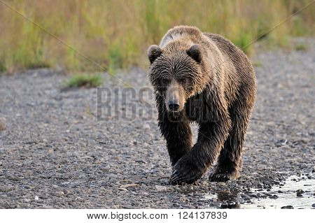 Kodiak Bear walking on pebbles along side river.