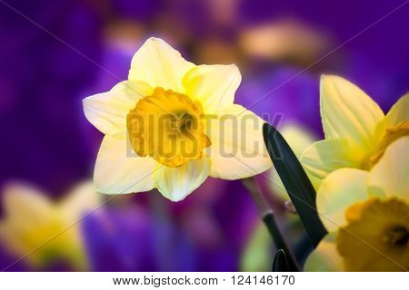 A Beautiful Spring flowers daffodil. Close up