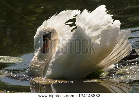 a male mute swan threatening other birds