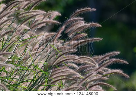 Beautiful grass flower (poaceae) with sunlight Naturally beautiful flowers in the garden