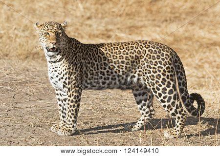 An African Leopard Walking on the Savannah