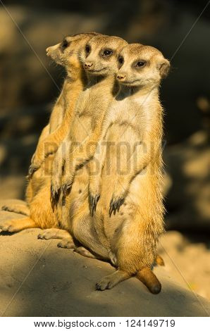 Three watchful meerkats standing guard at early morning