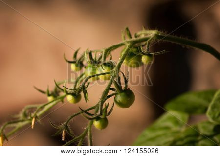 A group of small green tomatoes growing on the vine ** Note: Shallow depth of field