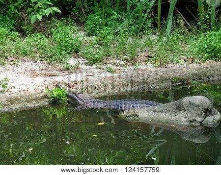 False gharial is a freshwater crocodilian with a very thin and elongated snout ** Note: Soft Focus at 100%, best at smaller sizes