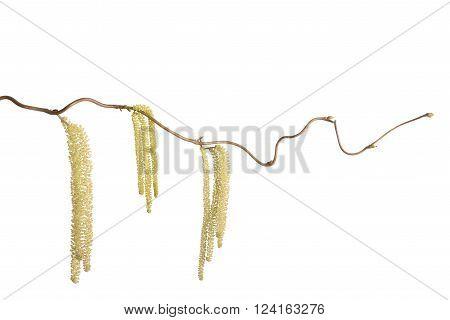 Hazel branch with catkins isolated on white (Corylus avellana)