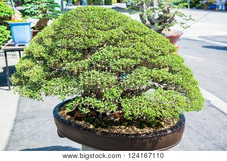 Beautiful shape of the favorite plantation style called Bonsai