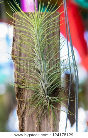 Tillandsia, The hanging plantation in the glass house