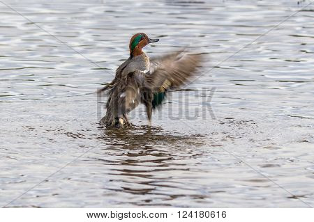 Small dabbling duck Green Winged Teal on a water in the lake along