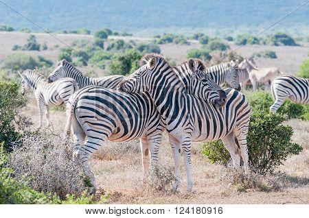 Two Burchells zebras, Equus quagga burchellii, using each others backs as headrest