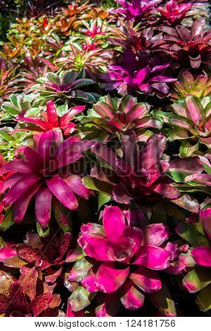 the colorful leaves and flower of Bromeliads