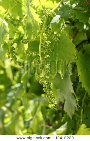 Vineyard With Little Baby Graps Growing Sprouts