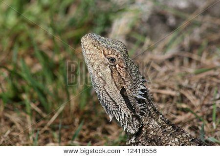 Bearded Dragon lizard Australia