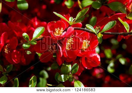 The Japanese Quince (Chaenomeles japonica) flower filled foams. ** Note: Shallow depth of field