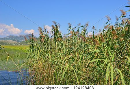 Reed (Scirpus gen.) spinney in river Montenegro Europe