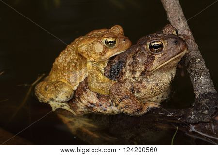 American Toads (Bufo americanus) mating in a pond in spring. The female is much larger than the male in this species.