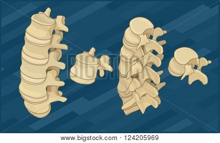 Human spine bones flat isometric vector illustration.