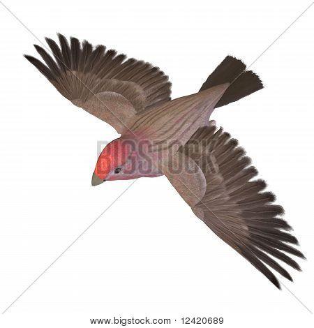Bird Purple Finch Male