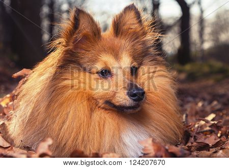 a young Shelty dog lies in brown foliage