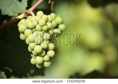 Chardonnay white wine grapes vineyard burgundy france closeup