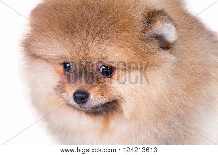 Portrait of a Pomeranian puppy age of 2 month close-up