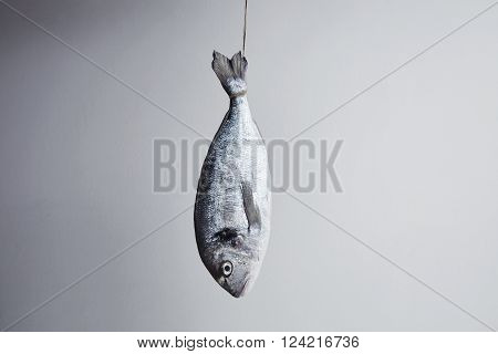 Fresh Sea Bream Hanged For Tail On Rope In Center, Isolated In Front Of White Wall With Space For Yo
