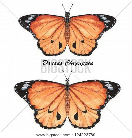 Hand drawn watercolor illustration of isolated tropical butterflies: orange Danaus Chrysippus.