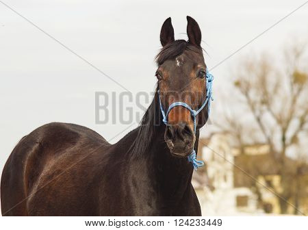 brown horse in a blue halter on white sand on a background of pale gray sky