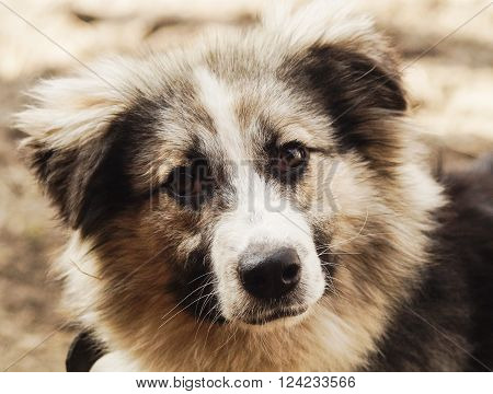 long-haired shaggy dog of gray and black colors are on the sand