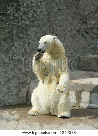 Polar She-Bear