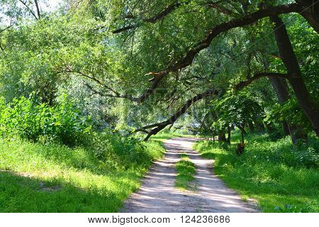 forest glade with sloping branches of trees and road trodden