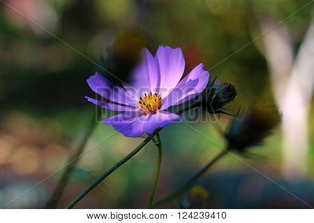 Image cosmea flower growing in a natural environment.