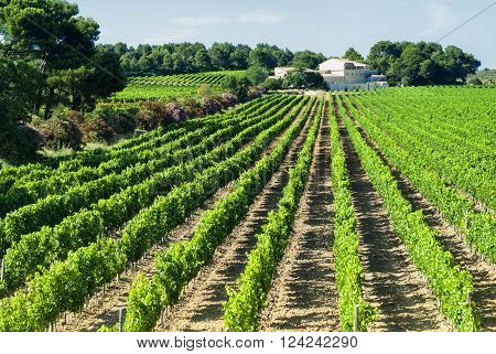 Vineyard in Languedoc-Roussillon France) near Montpellier at summer