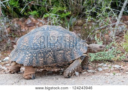 A Leopard tortoise Stigmochelys pardalis walking with its feet clearly visible