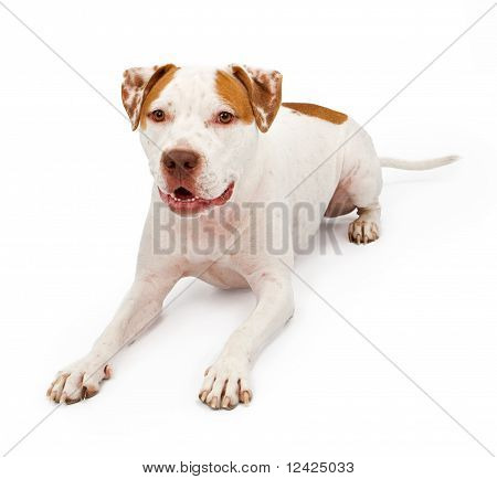 American Staffordshire Terrier Laying Down