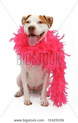An American Staffordshire Terrier Wearing A Pink Boa